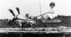 Turkeys??? Pulling a cart.