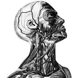 Anatomical Medical Skull anatomy 52 by mapsandposters on Etsy, $9.99