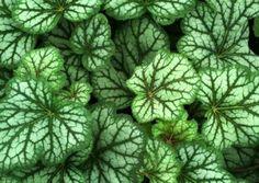 Heuchera 'Green Spice'