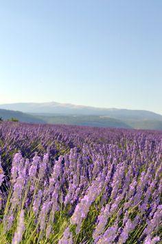 *** Lavender fields - Provence ***