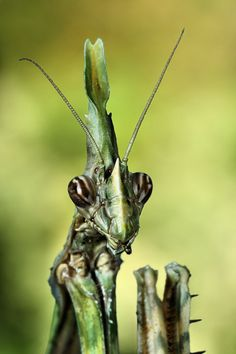 Empusa pennata/// i am your master Micro Photography, Insect Photography, Cool Insects, Bugs And Insects, Mantis Religiosa, Bed Bug Bites, Cool Bugs, Praying Mantis, Beautiful Bugs