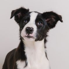Border-Aussie dog for Adoption in Eden Prairie, MN. ADN-636682 on PuppyFinder.com Gender: Female. Age: Baby
