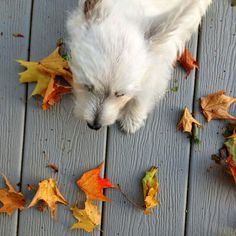 Westie Puppy Discovering Leaves Westie Puppies, Westies, Doggies, Pet Dogs, White Terrier, White Dogs, Little Dogs, Scottie, Labs
