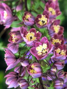 'King Arthur' Delphinium - Delphinium Elatum 'King Arthur' is one of the Round Table Hybrids with 5- to 6-foot-tall flower spikes. It has reddish-purple flowers with a creamy white center, called a bee. Zones 3-7.