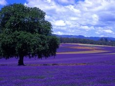 tuscany in lavender - Yahoo Image Search Results