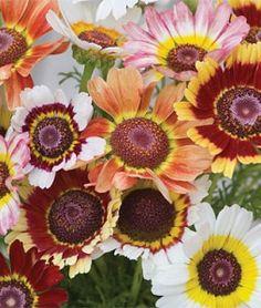 Tricolor Daisy Chrysanthemum
