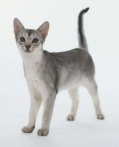 Encyclopedia of Cats Breed: Silver Abyssinian Cat