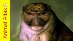 Are APES and MONKEYS the same? No! BUT they have a lot in common. We zoom in on the differences between these two branches of primates... and delve further. We discover that not all #monkeys are the same. Nor are apes. We look at primates with tails like fifth limbs and those with no tails at all. Subscribe to our channel for more amazing animal videos! http://www.youtube.com/subscription_center?add_user=kidsanimalchannel