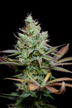 Pennywise | 4 Phenotypes of high (~12%) CBD with a 1:1 CBD:THC Ratio | TGA Subcool Seeds