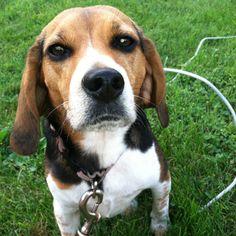 Beagle saying hello