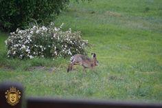 A to nasz gość niedzielny, pojawia się często ale dopiero teraz udało mi się go sfotografować. Kangaroo, Animals, Baby Bjorn, Animales, Animaux, Animal, Animais