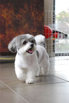 Shih Tzu Grooming Style Photos | ... the bichon frise dog shih tzu grooming styles cached similarmaltese....Great groom.