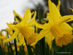 Daffodil or Narcissus? All daffodils are Narcissus. Narcissus is the latin or botanical name and daffodil is the common name for all flowers within the Genus Narcissus. Both names refer to the same group of flowers. Daffodil Classification In daffodil catalogues you'll often see combinations of letters and numbers listed by the name of the …