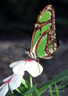 Dido Longwing Butterfly Photograph  - Dido Longwing Butterfly Fine Art Print