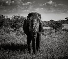 Real life #dumbo left all alone in Tarangire in Tanzania  #blackandwhite #monochrome #art #blackandwhitephotography #picoftheday #beautiful #nature #elephant #safari #wildlife #babyelephant #amazing #sad #alone #tarangire #tanzania #africa #elephants #afrika #safaritanzania #wildlifephotography #tarangirenationalpark #wild #lion #travel #panasonicgh4 #gh4 #panasonic #lumixgh4 by arezmahzouni @enthuseafrika