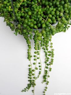 I love this succulent! My String Of Pearls grow outdoors but they make easy, fascinating houseplants. Here's how to care for them indoors. Video too.