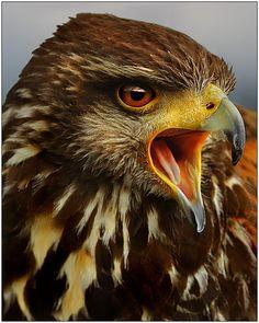 Hawk II by ~justinblackphotos on deviantART
