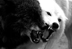 White Wolf : 42 Amazing Truths About Wolves Everyone Should Know Are wolves in the same litter always the same color? Wolves in a pack are not always the same color. Sometimes a wolf pack will have white wolves, gray wolves and black wolves! Beautiful Creatures, Animals Beautiful, Cute Animals, Wild Animals, Baby Animals, Wolf Spirit, Spirit Animal, Wolf Hybrid, Two Wolves