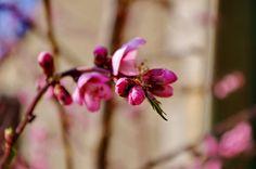 Un dimanche près de Fouilloux dans le Périgord Vert 82 des fleurs de pêchers