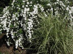 Spiraea cantoniensis with new growth of Miscanthus sinensis Variegatus Big White Flowers, Cut Flowers, Flowering Shrubs, Trees And Shrubs, Bridal Wreath Spirea, Sydney Gardens, Big Vases, Types Of Plants, Spring Garden