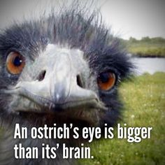 Tiny Fact of the Day: An Ostrich's eye is bigger than it's brain.    I wonder how much it remembers what it sees...    http://tinypost.co/posts/147089/