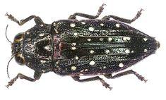 Dicercomorpha albosparsa