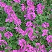 verbena spp - good colors