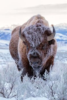 A frosty Bison just chillin Fast Crazy Nature Deals. Nature Animals, Animals And Pets, Funny Animals, Cute Animals, Strange Animals, Wild Animals, Animal Bufalo, Wildlife Photography, Animal Photography
