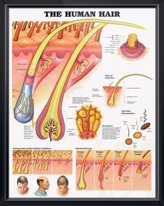 The Human Hair anatomy poster shows detailed anatomical view of scalp and hair within the skin extending to the hair shaft. Dermatology chart for doctors and nurses.