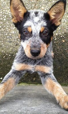 Download Australian Cattle Dog for Android by Egor Pavlovich - Appszoom