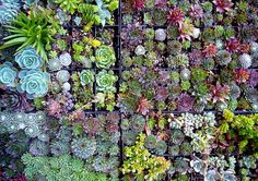 Succulents are the best! Great architectural feature and low maintenance. Great for people who forget to water their plants or travel a lot. Featured in this arrangement are aeoniums, echeveria and sempervivum. Succulents In Containers, Cacti And Succulents, Planting Succulents, Garden Plants, Planting Flowers, Pot Plants, Succulent Wall, Succulent Ideas, Vertical Gardens