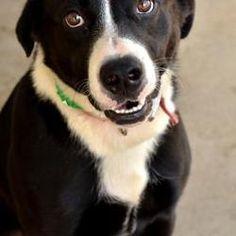 Fort Smith, Arkansas - Labrador Retriever. Meet Vince, a for adoption. https://www.adoptapet.com/pet/20578204-fort-smith-arkansas-labrador-retriever-mix