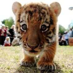 Baby tiger. Super cute!! http://pandawhale.com/convo/7488/baby-tiger-stares-into-camera