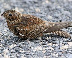 Antillean Nighthawk  (Chordeiles gundlachii) is a nightjar | Audubon Field Guide