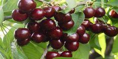 Kiraz Bakımı Nasıl Yapılır? Bonsai, Mandala, Cherry, Fruit, Prunus, Mandalas, String Garden