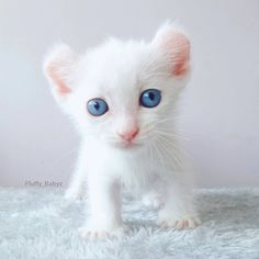This kitten looks like a mini albino lion - What more to say other than we just LOVE cool stuff!