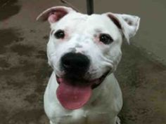 *JAKE - ID#A751687  Shelter staff named me JAKE.  I am a neutered male, white and tan Pit Bull Terrier.  The shelter staff think I am about ...