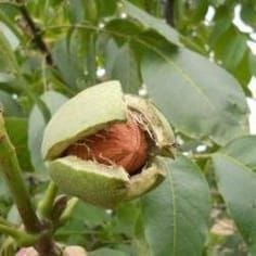 English Walnut Tree on Fast Growing Trees Nursery Fruit Bearing Trees, Fruit Trees, Tostadas, Euphorbia Pulcherrima, Black Walnut Tree, English Walnut, Fast Growing Trees, Yellow Leaves, Weed