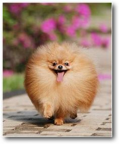 ❋動物(Animal)❋  Poms, always smiling!