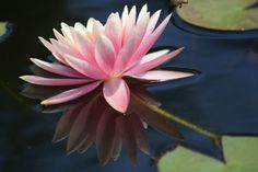 Water-Lily: Nymphaea [Family: Nymphaeaceae] - Flickr - Photo Sharing!