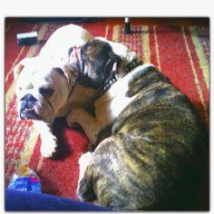 Snuggling bulldogs