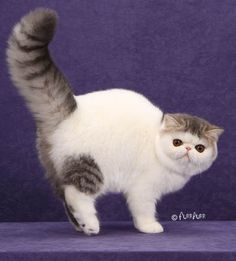 Exotic shorthair cats, kittens. Sold kittens of cattery RusLana.