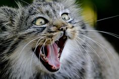 Funny Wildlife, Pallas cat by wwmike on Flickr.