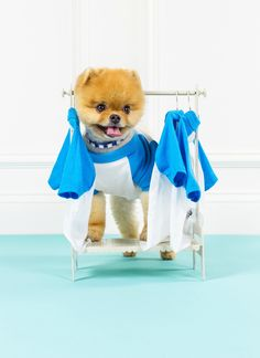 Jiff Pom picking an outfit...  -This lil dog's name is Jiffy. dope
