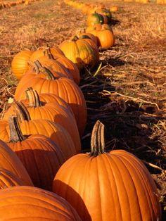 Vegetables image: Row of Pumpkins: ecard photos