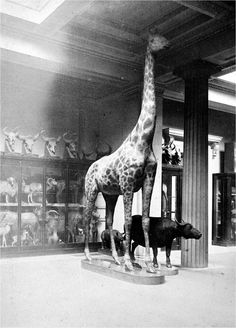 Giraffe at the British Museum, before the NHM was built.