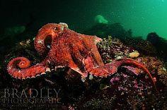 Amazing giant Pacific octopus images :: Wetpixel.com