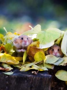 Fall is like every other season; a glorious time to be a hamster