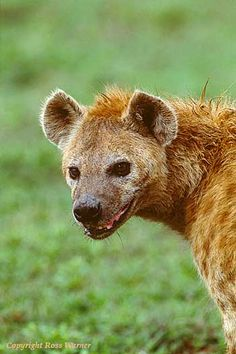 Hyena, Ngorongoro