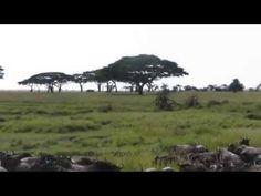 Wildebeest in the Serengeti , Gnus in der Serengeti - YouTube